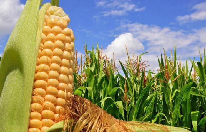Республіка Кенія прийняла рішення про здійснення закупівлі жовтої кукурудзи в Україні